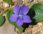 Hot Springs Mountain Road Common Violet