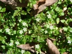Upper Dogwood White Chickweed