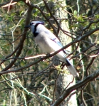 Dead Chief Trail Blue Jay in Tree