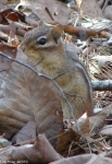 Hot Springs National Park Floral Trail Chipmunk