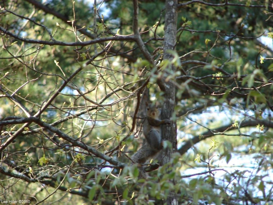Hot Springs Mountain Trail Squirrel