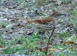 Hot Springs National Park, Arkansas Peak Trail Brown Thrasher