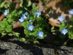 Hot Springs Mountain Road Birds-Eye Speedwell