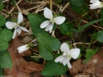 Hot Springs Mountain Road Sweet White Violet