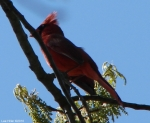 Hot Springs National Park Promenade Red Male Cardinal