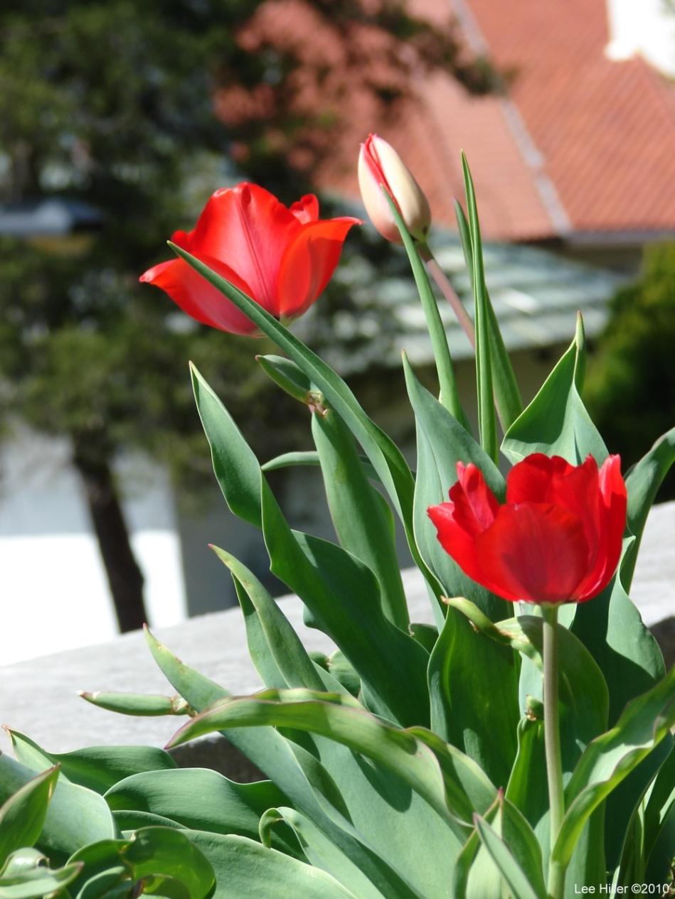 Hot Springs National Park, AR Promenade Red Tulips