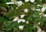 Promenade White Swamp Dewberry
