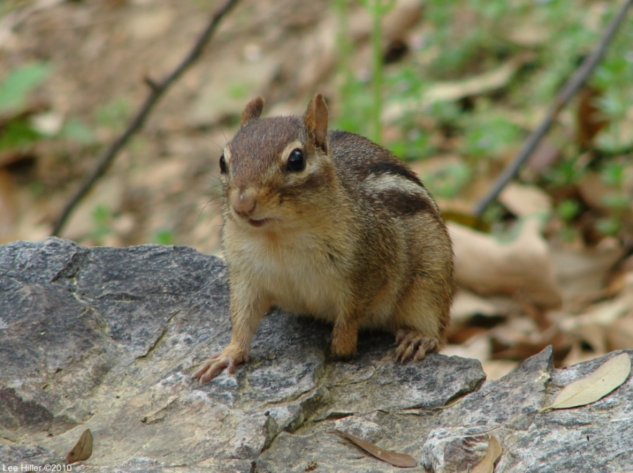 Hot Springs National Park Peak Trail Chipmunk
