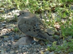 04082010HotSpringMountainTrailMourningDove