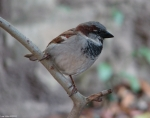 Fountain Street Male House Sparrow