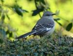 Hot Springs National Park Promanade Northern Mockingbird