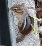 Hot Springs National Park, AR Entrance Chipmunk
