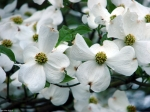 Entrance White Dogwood Blossoms