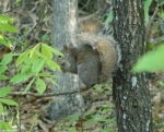 Hot Springs National Park Short Cut Trail Squirrel