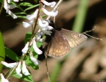 Hot Springs Mountain Trail  Skipper on White Flower