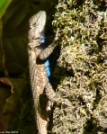 Hot Springs Mountain Trail Lizard