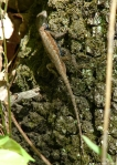 Hot Springs Mountain Trail Lizard