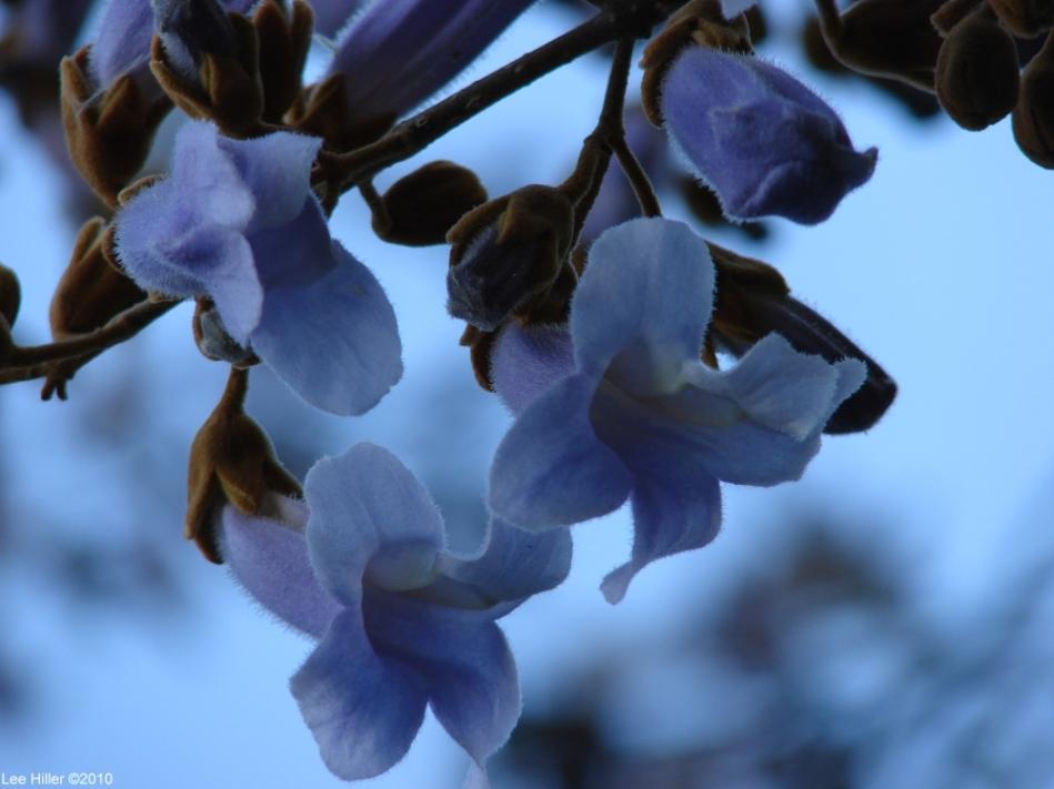 Hot Springs National Park Entrance Blue Tree Blossoms