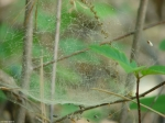 Lower Dogwood Spider Web