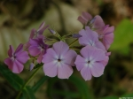 Hot Springs Mountain Trail Pink Phlox
