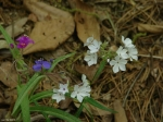 Hot Springs Mountain Trail Spiderwort Phlox
