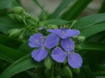 Tufa Terrace Spiderwort Blue