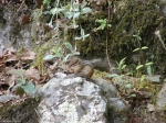 Fountain Trail Chipmunk