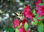 Arlington Lawn Yellow Swallowtail Butterfly Azalea