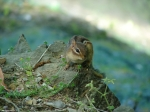 Hot Springs National Park, AR Cascade Chipmunk