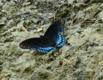 Promande Red Spotted Purple Butterfly