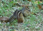 Hot Springs National Park Promande Chipmunk