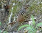 Hot Springs National Park Fountain Street Chipmunk