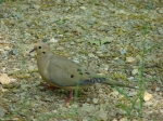Goat Rock Trail Mourning Dove