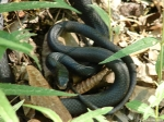 Lower Dogwood North American Racer Snake