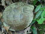 Upper Dogwood Box Turtle