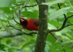 Peak Trail Male Cardinal Checking for Rain