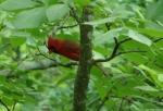 Hot Springs National Park, AR Peak Trail Male Cardinal