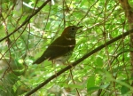 Floral Trail Bicknell's Thrush