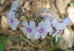 Floral Trail Phlox White Pink