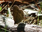 Goat Rock Trail Butterfly