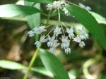 Upper Dogwood Trail Milkweed