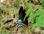 Goat Rock Trail Black Swallowtail Butterfly