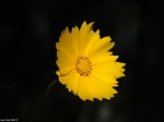 Gulpha Gorge Lance-Leaved Coreopsis