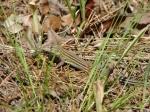 Gulpha Gorge Prairie Racerunner Lizard