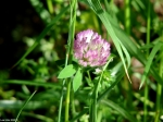 Hot Springs Mountain Trail Pink Clover