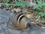 Hot Springs Mountain Road Chipmunk