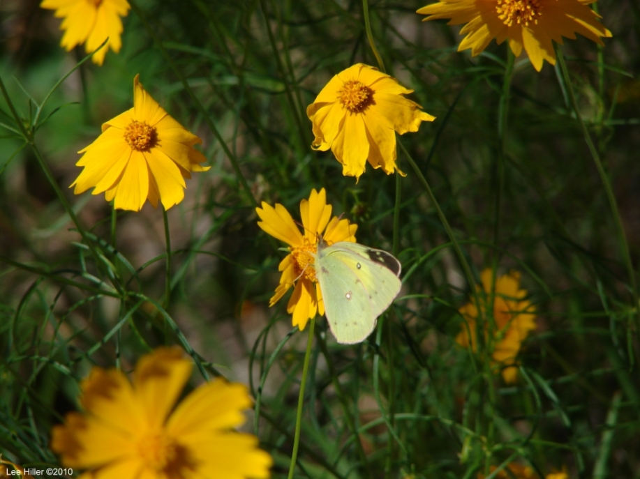 Goat Rock Trail Orange Sulphur on Lance Leaved Coreopsis