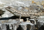 Gulpha Gorge Trail Female Prairie Lizard