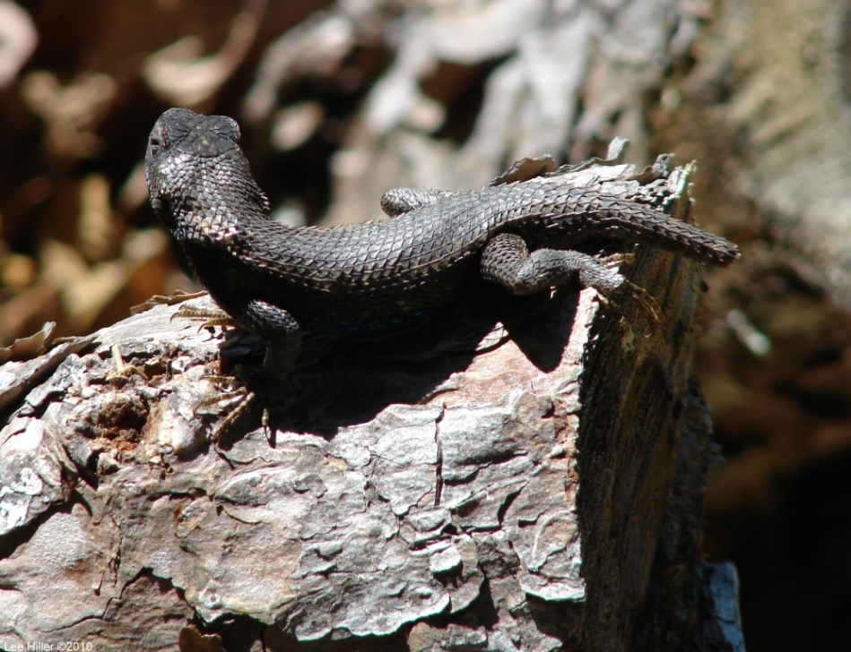 Hot Springs Mountain Trail Burnt Male Prairie Lizard