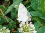 Arlington Lawn Banded Hairstreak Butterfly
